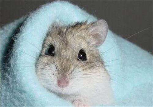 仓鼠产前产后的注意事项