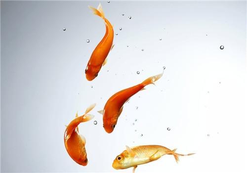 如何用扎带编金鱼图解