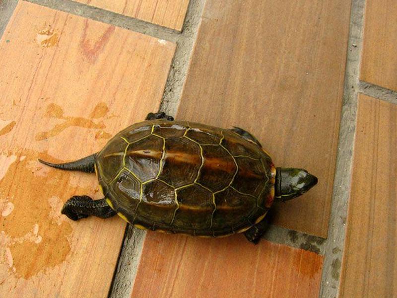 如何营造适合中华草龟的养殖环境