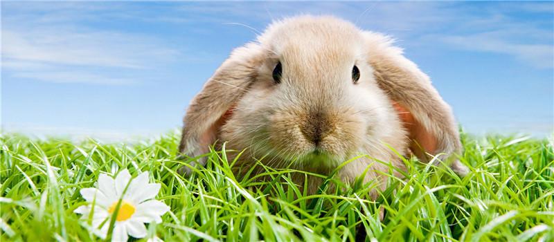 如何在秋季做好家兔的秋繁