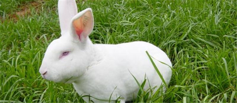 为獭兔催情的六种方法