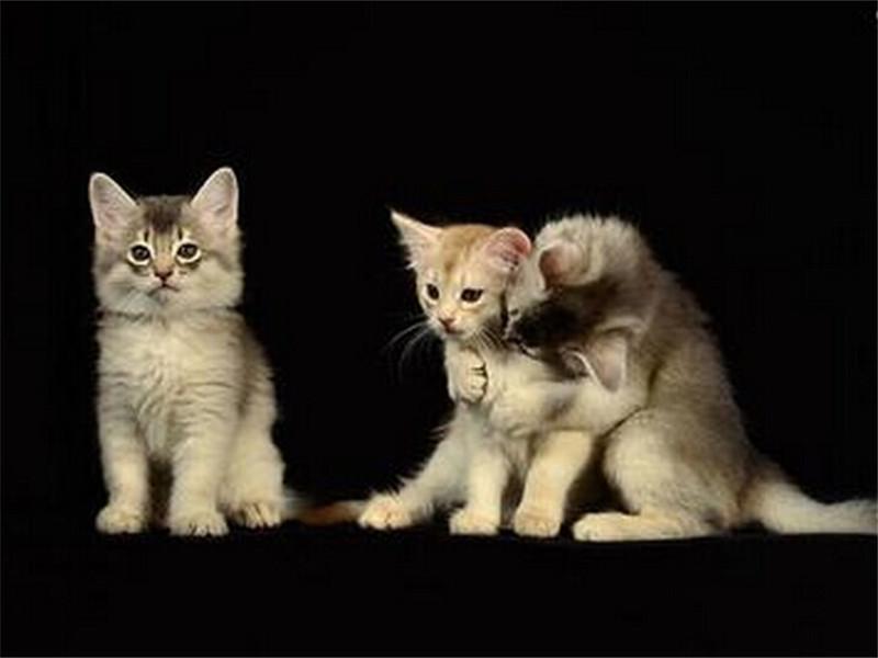 索马里猫好养吗
