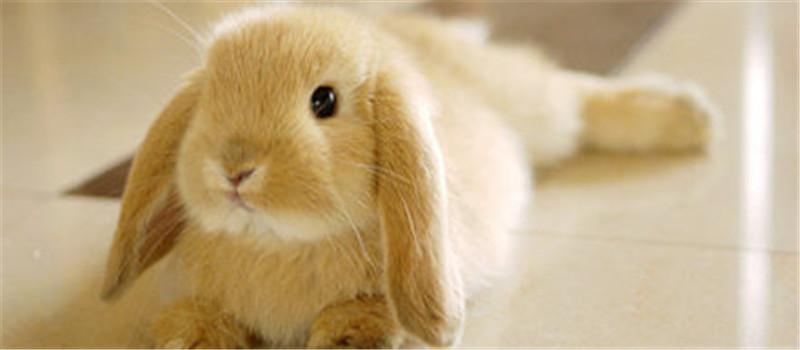 宠物兔的怀孕鉴别法