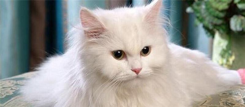 猫咪足部护理的方法