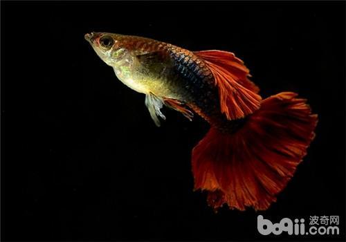孔雀鱼即将生产前的特征