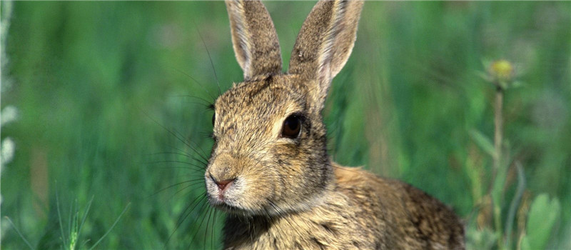 兔兔发情后的注意事项