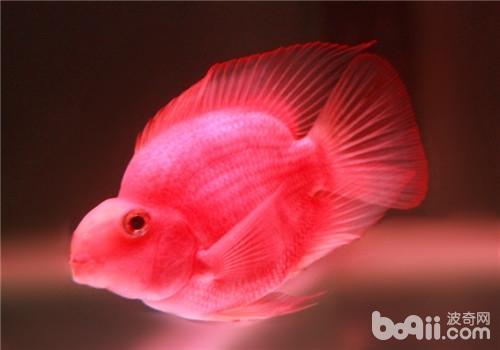 鹦鹉鱼翻鳃的分类及原因分析