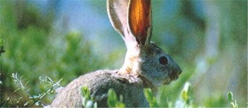 抱兔子时切忌抓耳朵