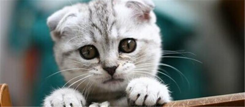 饲养苏格兰折耳猫的注意事项