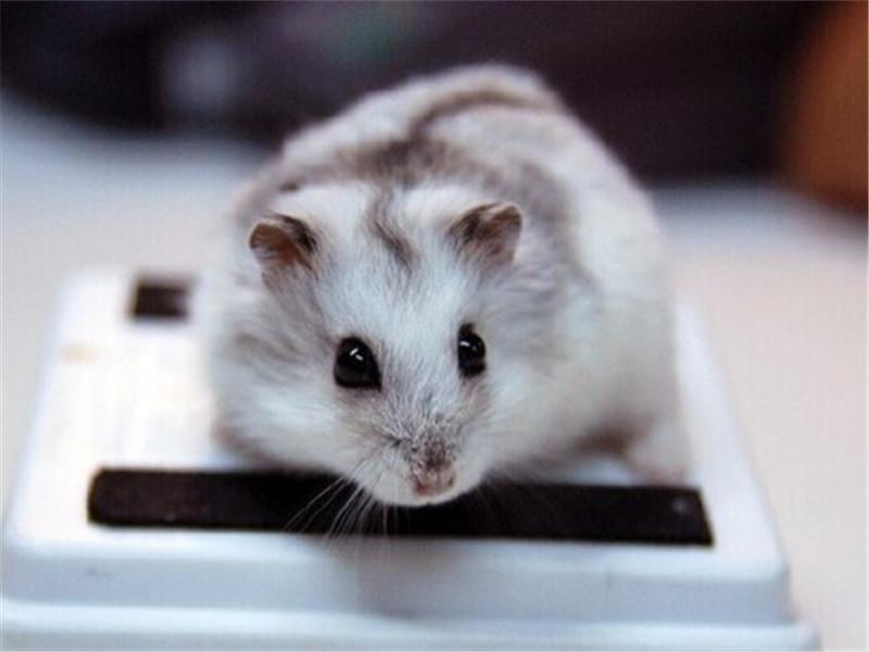如何布置仓鼠的饲养环境