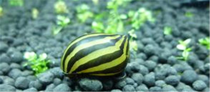 斑马螺的饲养环境