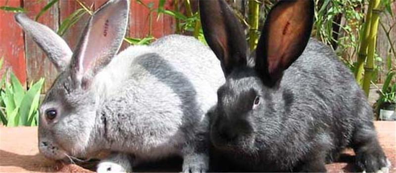 家兔臌胀病的病因及防治