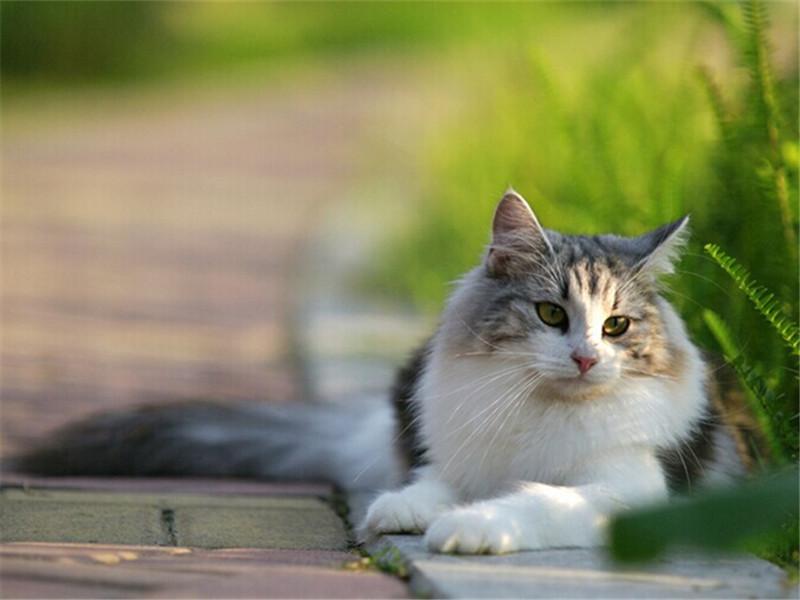 苏格兰折耳猫有哪些遗传病