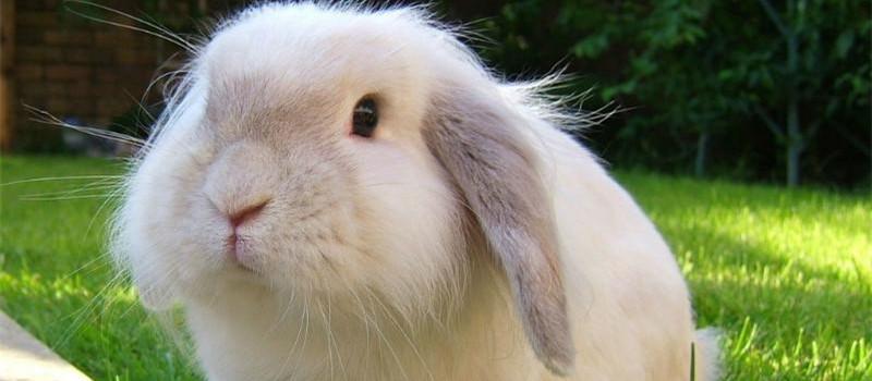 兔兔球虫病的症状详解