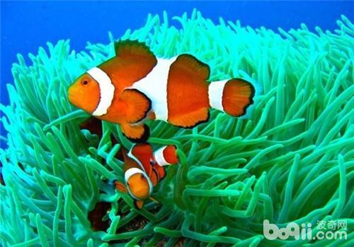 为什么海葵和小丑鱼需要共同生活饲养