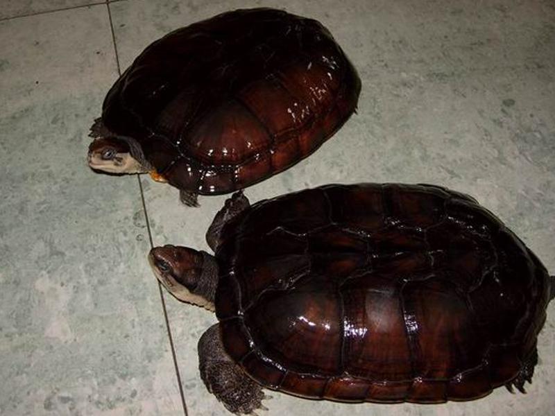 怎么把石龟养好_石金钱龟还能养殖的必要吗_石龟什么时候喂食最好