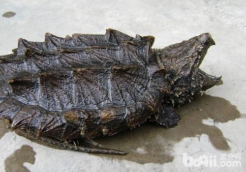 影响鳄龟产卵率及孵化率的因素有哪些