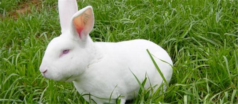 健康獭兔需要从幼兔饲养抓起