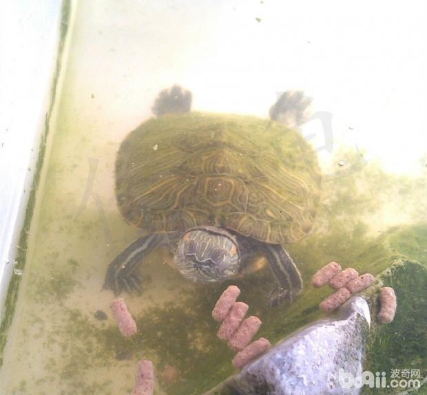 国内外对宠物龟肺炎诊治的研究情况