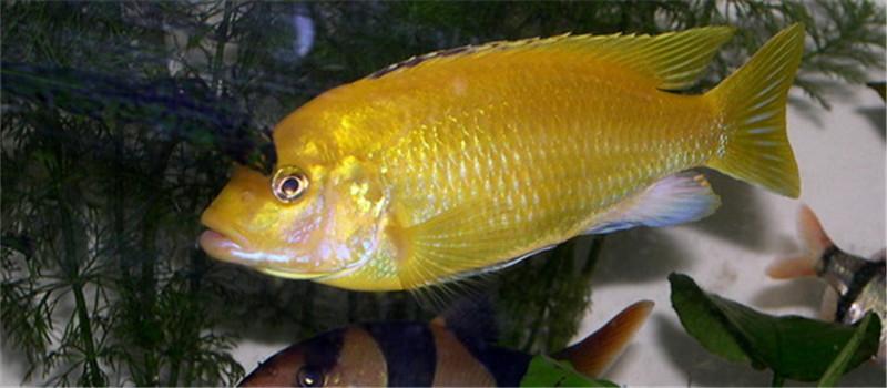 非洲王子鱼的饲养注意事项