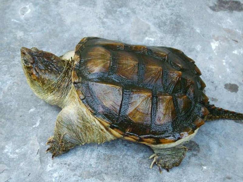 纯种佛鳄龟的特征
