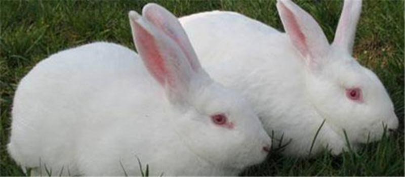 如何提高獭兔的产仔率