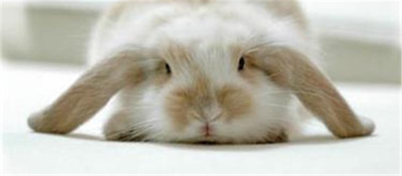 疫苗及稀释剂引起的兔免疫失败