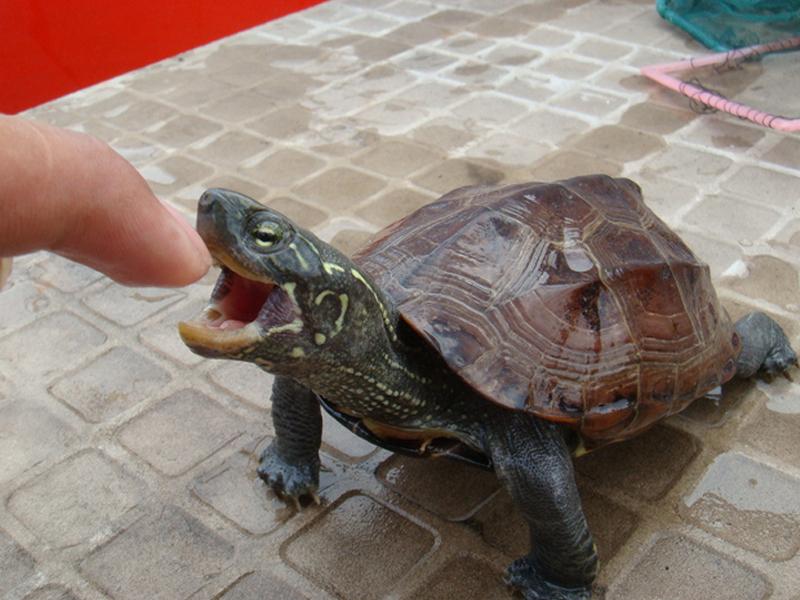 草龟的食性介绍