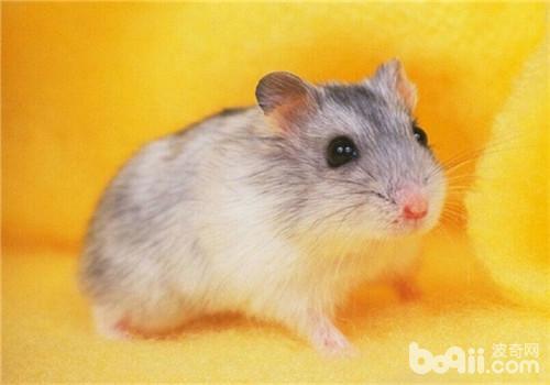 仓鼠伪冬眠和低温症的区别