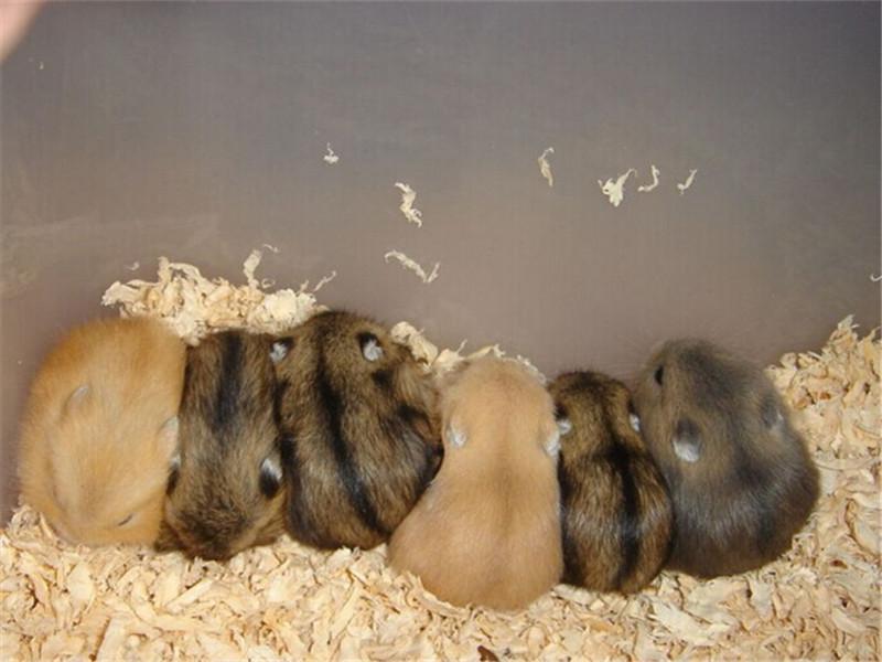 为什么鼠鼠蛋蛋太大会导致脱毛
