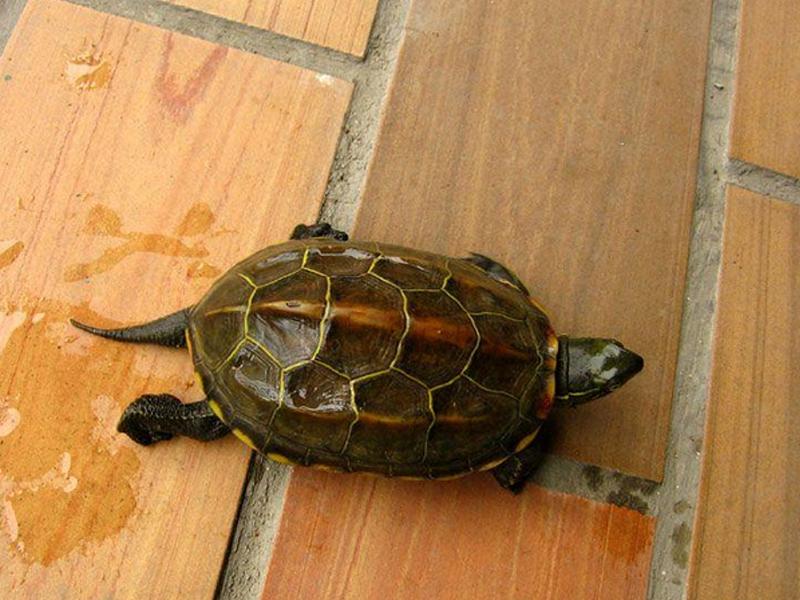 草龟的常见疾病有哪些