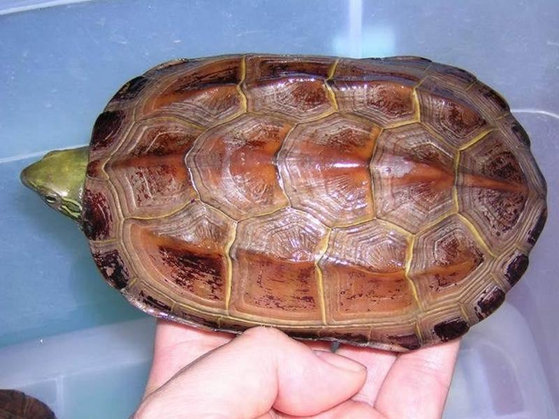 饲养草龟需要注意什么问题