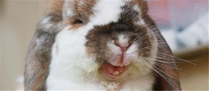 兔兔摸胎的操作方法