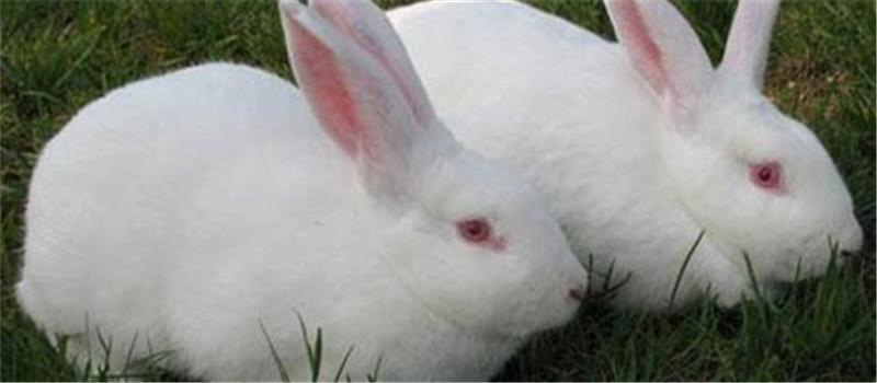饲养獭兔的七大禁忌