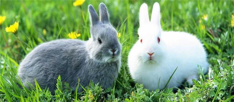 獭兔换毛的注意事项