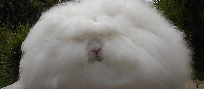 长毛兔人工授精的操作方法