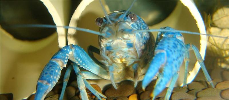 佛罗里达蓝鳌虾幼虾的饲养管理