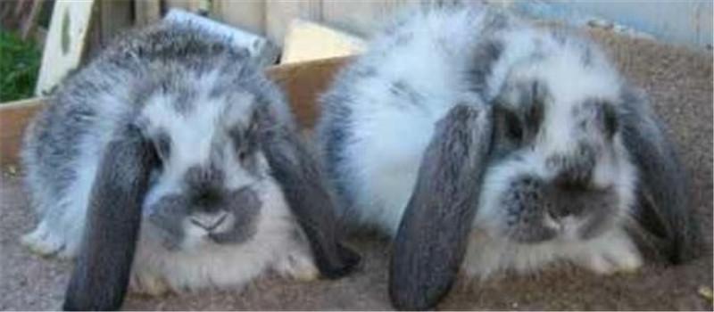 仔兔休克的处理方法