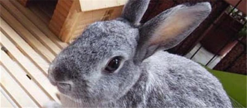 鸡兔是否可以同养
