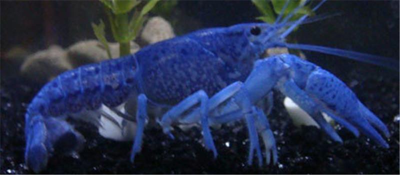 佛罗里达蓝鳌虾的繁殖要点