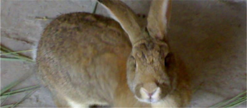 饲养兔兔不可光喂饲料