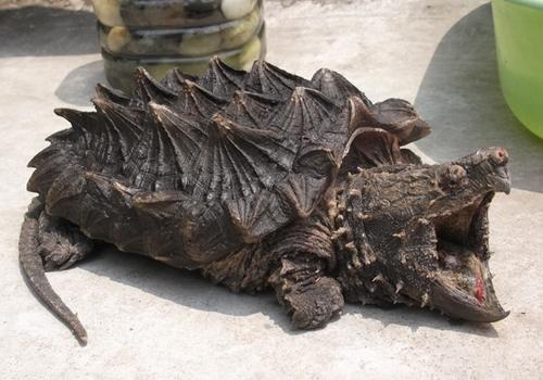 如何捉拿大鳄龟