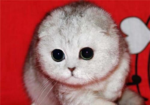 苏格兰折耳猫有哪些遗传疾病