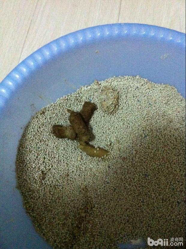 图4  患病猫咪粪便是弓形虫主要传染源之一