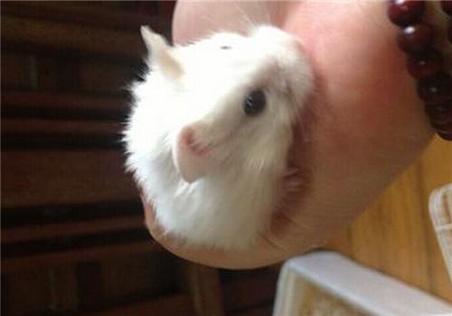 小仓鼠什么时候断奶