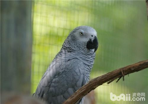 非洲灰鹦鹉的品种简介