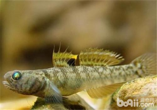 虾虎鱼吃什么?