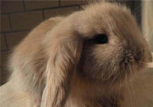 垂耳兔好养吗?