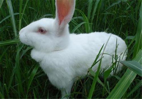 根据家兔的生理特点确定配种方法