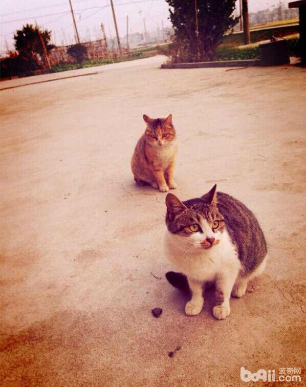 图3  猫科动物是已知弓形虫唯一的终末宿主